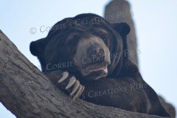 Another photo of the sun bear