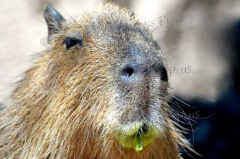 This capybara just finished devouring a green bamboo reed.