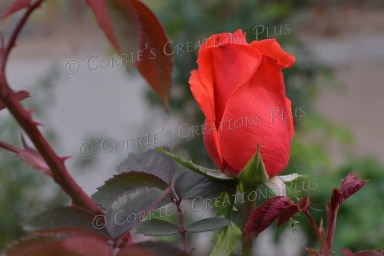 Roses grow year-round in beautiful Tucson.