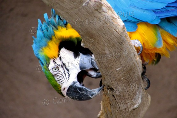 A macaw sharpens his beak.