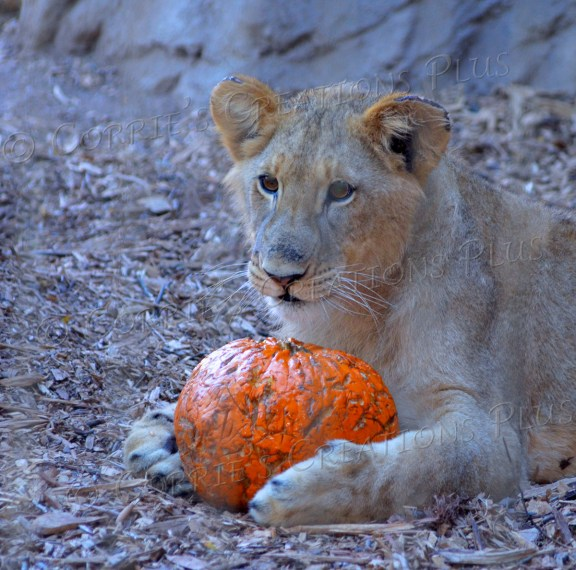 A lion cub plays with a pumpkin--and no one had better try to take it away from him!