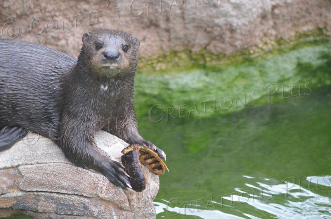 This otter had a lot of fun playing with a pod from a mesquite ebony tree.