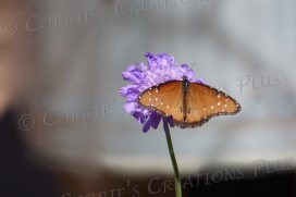 Monarch butterfly on lavender flower