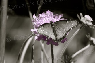 One-point version of a monarch on a lavender flower