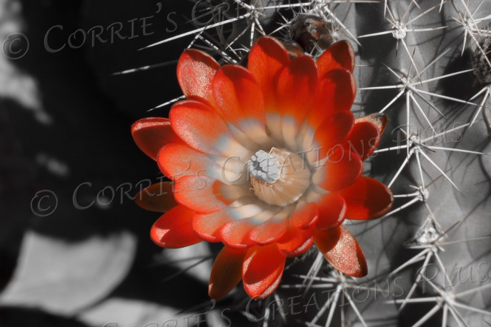 A single claret-cup cactus blossom taken in one-point color