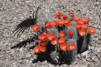 Claret cup cactus in one-point color