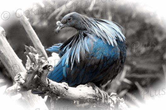 Nicobar pigeon taken in one-point color