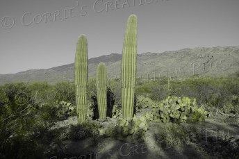Cacti in Saguaro East National Park near Tucson; taken in one-point color