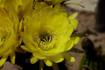Yellow cactus blossoms