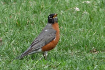 The appearance of the red robin signals the begining of spring in southeastern Nebraska.