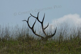 Yes, there is an elk underneath these massive antlers.