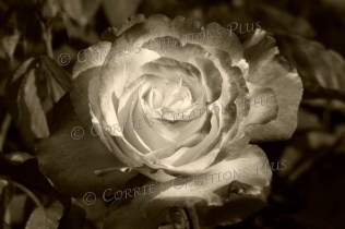 A sepia version of a rose