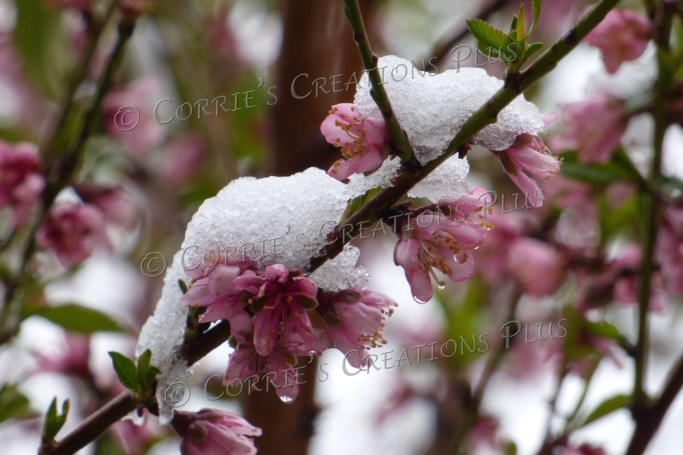 Snow on some peach-tree blossoms