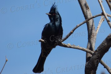 This photo of a phainopepla was taken at Sabino Canyon in southeastern Arizona.