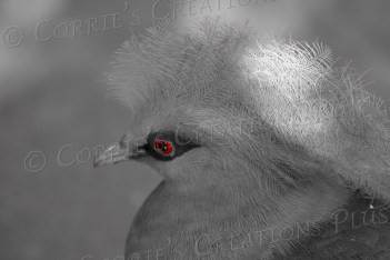 The eye of the Victorian-crowned pigeon is red; taken in one-point-color