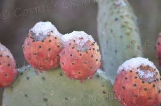 Snow on prickly pear cacti fruit on New Year's Day 2015 in Tucson