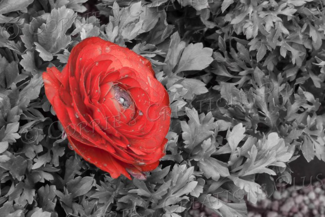 The ranunculus stands out in stark contrast.