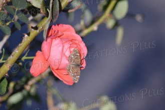 A butterfly resting quietly on a pink rose