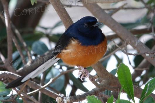 A shama thrush; love the orange and indigo blue colors