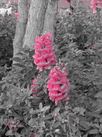 Pink snapdragons