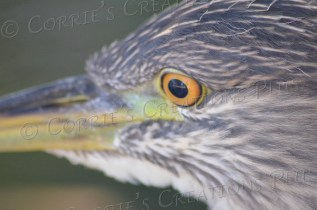 A closeup of the spotted dikkop