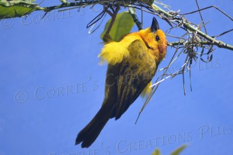 Taveta golden weavers hang from tree branches in an unusual manner.