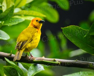 A Taveta golden weaver perches gracefully on a tree branch.
