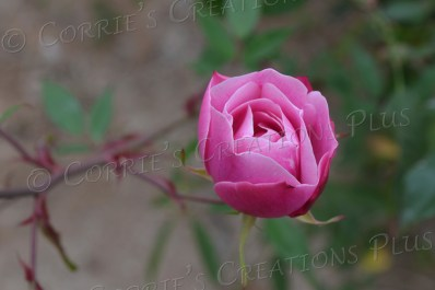 Pink rose; notice the details in the petals.