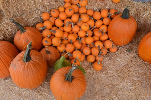 Collection of large and small pumpkins