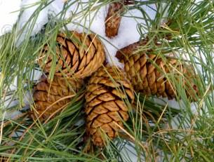 Pine cones in the snow; Mt. Lemmon, Arizona