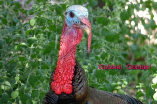 A second-inscribed photo of Tom Turkey for Thanksgiving