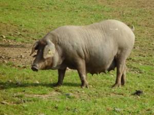 Jamón de cerdo ibérico