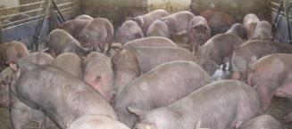 Experiencias con la inmunocastración en cerdos ibéricos