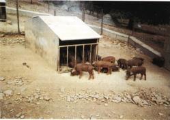 Sistemas de cría del cerdo