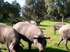 La conservación de la dehesa y la Norma del Ibérico, prólogo de la Feria del Jamón Ibérico de Los Pedroches