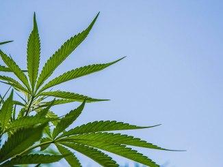 Stock Image of Marijuana