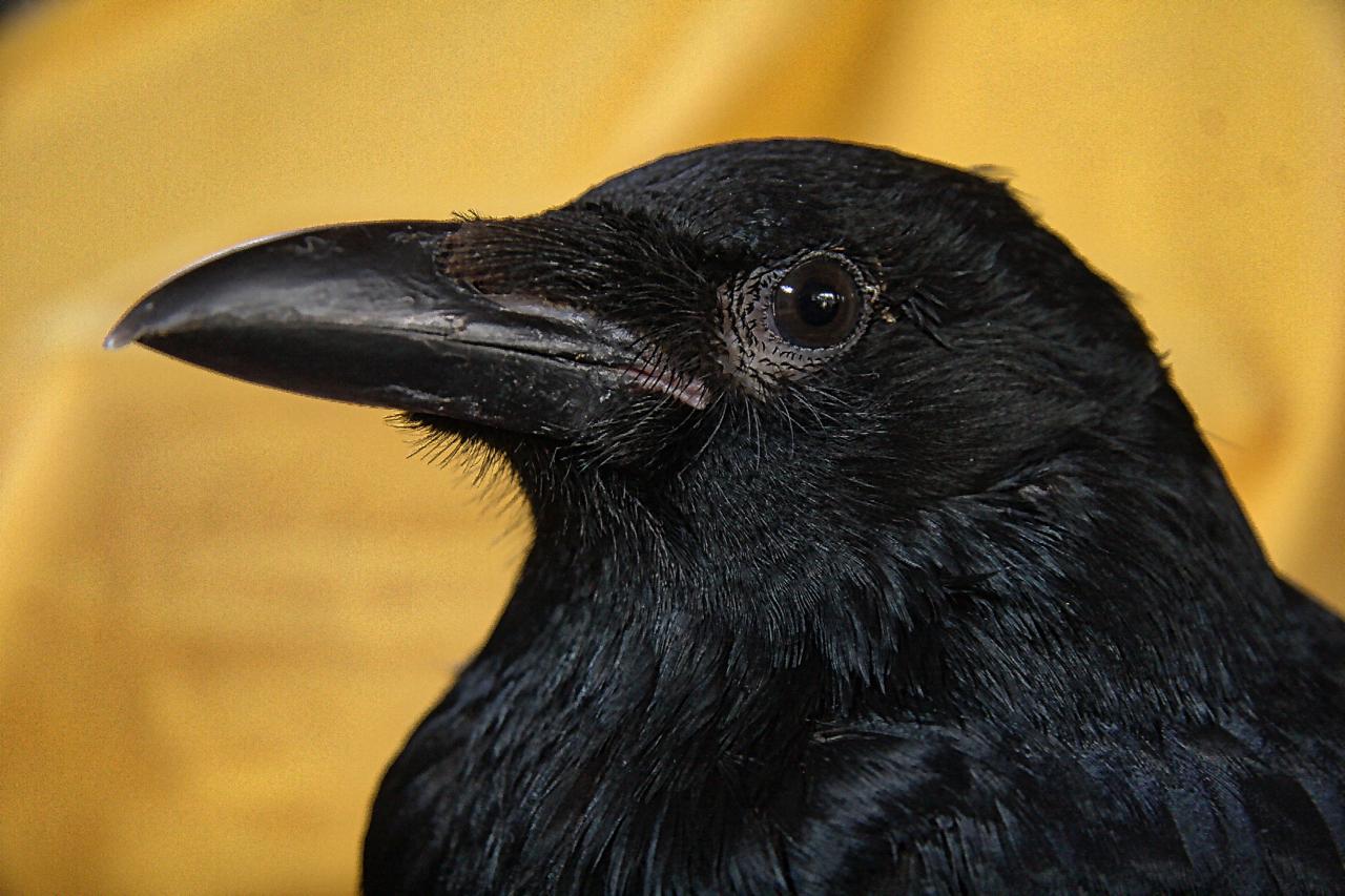 Carrion crow Pan Tau