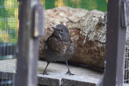 Blackbird Marcia