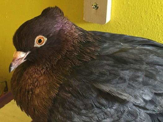 Crested archangel pigeon Merlot