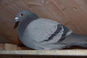 Feral Pigeon Ambros