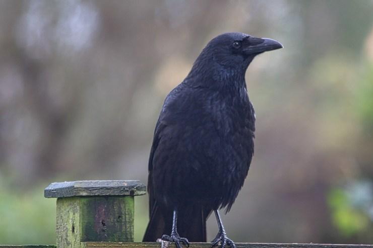 Carrion crow Merylin