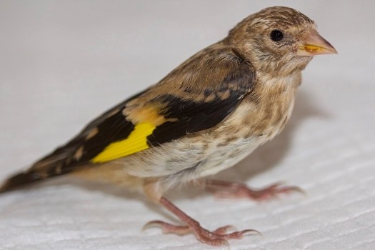 Goldfinch Little Prince