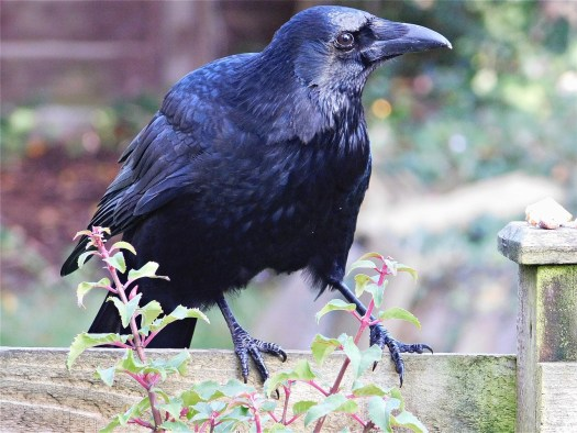 Carrion crow Emma