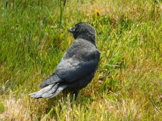 Jackdaw fledgling