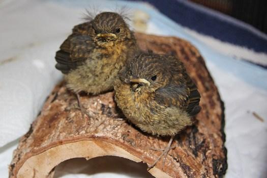 Fledgling robins