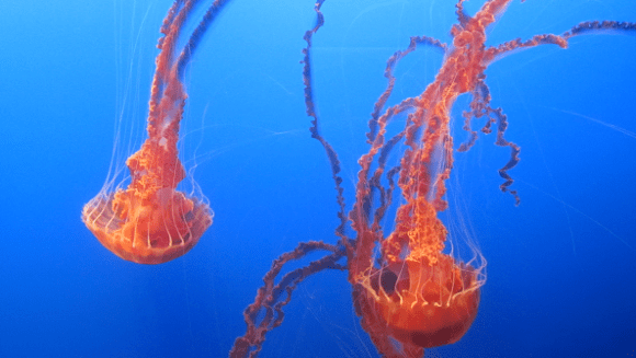 Jellyfish at Monterey Bay Aquarium, California.