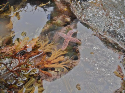 starfish in water