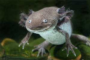 axolotl salamander is used for Graduate Research