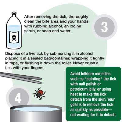 "After removing the tick, thoroughly clean the bite area and your hands with rubbing alcohol, an iodine scrub, or soap and water. Dispose of a live tick by submerging it in alcohol, placing it in a sealed bag/container, wrapping it tightly in tape, or flushing it down the toilet. Never crush a tick with your fingers. Avoid folklore remedies such as ""painting"" the tick with nail polish or petroleum jelly, or using heat to make the tick detach from the skin. You goal is to remove the tick as quickly as possible, not waiting for it to detach."