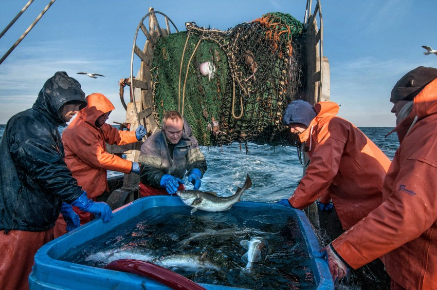 "Capt. Kevin Norton, center, of the Scituate-based commercial fishing trawler ""Yankee Rose"" tosses a freshly-caught Atlantic cod into a holding tank as biologist Jeff Kneebone (far left), deckhand Greg Cook, The Nature Conservancy's Chris McGuire and SMAST/UMass-Dartmouth researcher Doug Zemeckis (far right) look on during their research trip aboard Norton's boat. Photo by John Clarke Russ for The Nature Conservancy"
